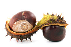 Chestnut. Bronze chestnut on white background in approaching stock photos