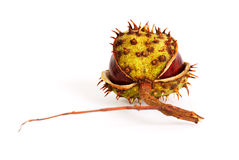 Chestnut. In a peel on a white background Royalty Free Stock Images