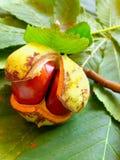 Chestnut. On the chesnut-tree leaves royalty free stock photos