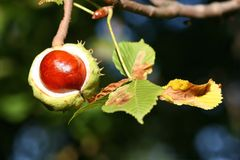 Chestnut. Autumn chestnut with leaf on tree stock images
