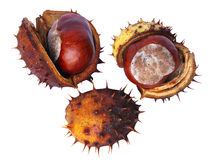 Chestnut Royalty Free Stock Image