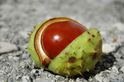 Chestnut. In open green shell on concrete ground Royalty Free Stock Photography