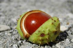 Chestnut Royalty Free Stock Photography