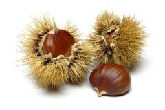 Free Chestnut Stock Photography - 37731282