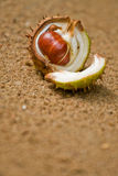 Chestnut  Stock Images