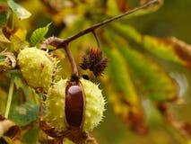 Chestnut. Detail of chestnut in autumn stock photos