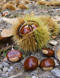 Chestnut. Four chestnut in the forest royalty free stock photos