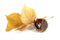 Chestnut. With the leaf on the white background Royalty Free Stock Photo