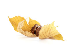 Chestnut. With the leaf on the white background Royalty Free Stock Photos