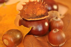 Chestnut and acorns Stock Photography