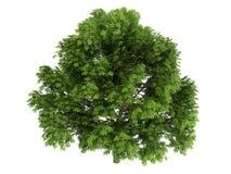 Chestnut (Aesculus glabra) Stock Image
