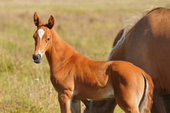 Chestnut akhal-teke foal Stock Photography