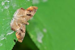 Chestnut Angle butterfly. Of Thailand background Stock Photo