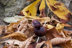 Chestnut animal Royalty Free Stock Photography