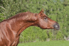 Chestnut arab horse Stock Photography