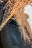 Chestnut Arab Horse Eye Royalty Free Stock Image