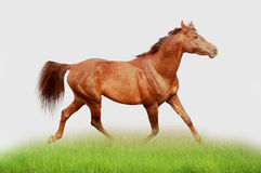 Chestnut arab horse in the field stock photography