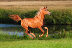 Chestnut arab horse gallop in the summer royalty free stock photography
