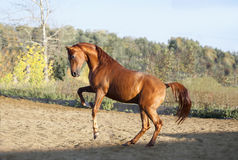 Chestnut arab horse plays in paddock Stock Photography