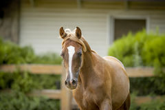 Chestnut arab horse portrait in paddock Royalty Free Stock Photo