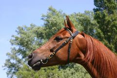 Chestnut Arabian Stock Photos