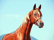 Chestnut arabian colt Stock Photo