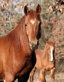 Chestnut Arabian Gelding. With younger one in background Royalty Free Stock Photo