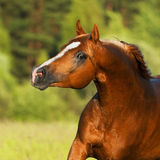 Chestnut arabian horse. In autumn Stock Images