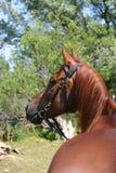 Chestnut Arabian horse Stock Photo