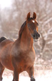 Chestnut arabian horse portrait. In winter with snow trees on the background Stock Photo
