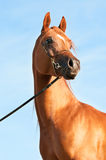 Chestnut arabian horse portrait Stock Photos