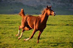 Chestnut Arabian Horse running. Gallop on pasture royalty free stock photography