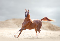 Chestnut arabian horse runs in desert Royalty Free Stock Image