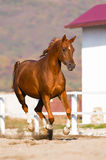 Chestnut arabian horse runs gallop. On freedom Royalty Free Stock Image