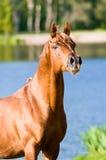 Chestnut arabian horse stallion portrait. In summer stock photography