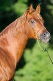 Chestnut Arabian horse stallion portrait. In summer royalty free stock image