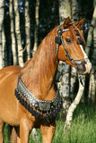 Chestnut arabian stallion with perfect harness Stock Images