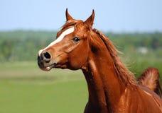 Chestnut arabian stallion portrait. Chestnut arabian running horse portrait Stock Image