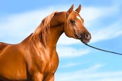 Chestnut arabian stallion portrait. On the sky background Royalty Free Stock Photo