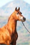 Chestnut arabian stallion portrait. Red arabian stallion portrait on mountain background royalty free stock image