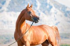 Chestnut arabian stallion portrait Royalty Free Stock Photo