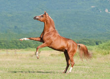 Chestnut arabian stallion rearing. On the meadow Stock Photo