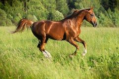Chestnut arabian stallion runs gallop. In summer Stock Photos