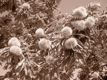 Chestnut aspect - sepia detail. Chestnut aspect - sepia photo in the end of summer Royalty Free Stock Photos