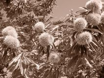 Chestnut aspect - sepia detail. Chestnut aspect - sepia photo in the end of summer Stock Images