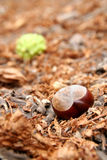 Chestnut in autumn Royalty Free Stock Photos