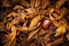 Chestnut in a Autumn Foliage Stock Images