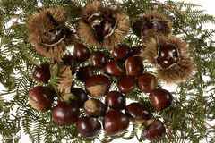 Autumnal fruit viewing,autumnal fruit picture,Chestnut,autumn,food,organic,italy. Group of chestnuts and chestnut curls freshly harvested Royalty Free Stock Photos