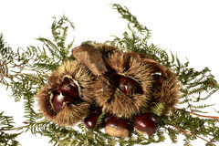 Autumnal fruit viewing,autumnal fruit picture,Chestnut,autumn,food,organic,italy. Group of chestnuts and chestnut curls freshly harvested Royalty Free Stock Images