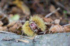 Chestnut in autumn Stock Photography